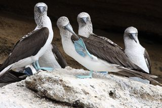 Blue_footed_boobies